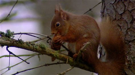 BBC Two - The Animal's Guide to Britain, Woodland Animals