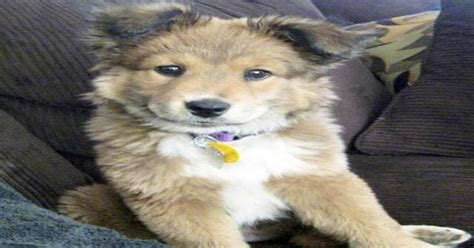 Missing: golden chinese husky retriever doodle